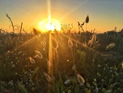 15th Jun 2018 - Sunset and wild seeds.