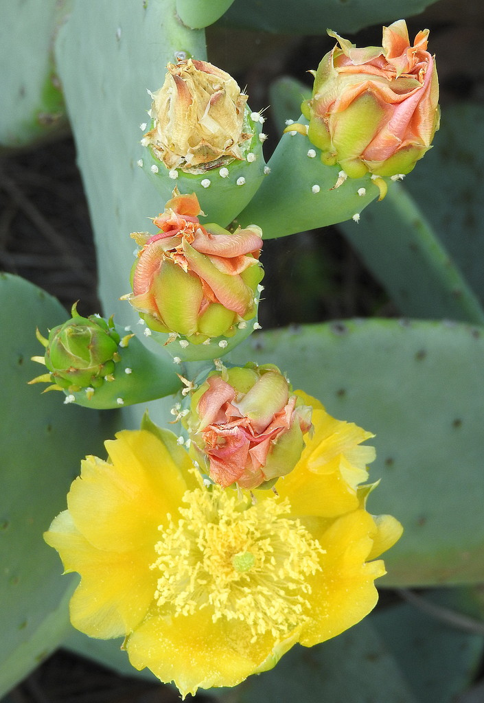 Prickly Pear in bloom by homeschoolmom