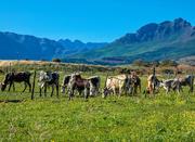 16th Jun 2018 - Cattle grazing