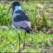 A Lapwing going walkabout.