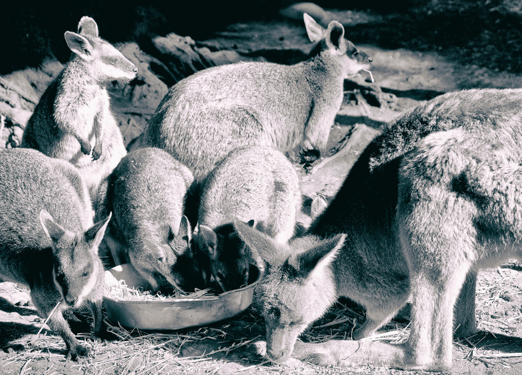 macropod mob by annied