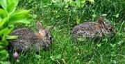 15th Jun 2018 - Baby bunnies.
