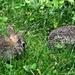 Baby bunnies.