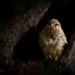 Female Kestrel..