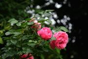 12th Jun 2018 - roses