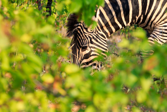 Zebra by leonbuys83