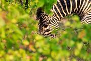 16th Jun 2018 - Zebra