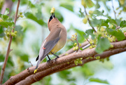 16th Jun 2018 - Cedar Waxwing!