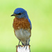 One Frowning Bluebird