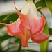 Trumpet Flower!