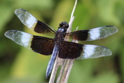 16th Jun 2018 - Male Widow Skimmer