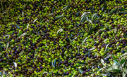 17th Jun 2018 - Olive Harvest