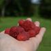 organic raspberries from the garden