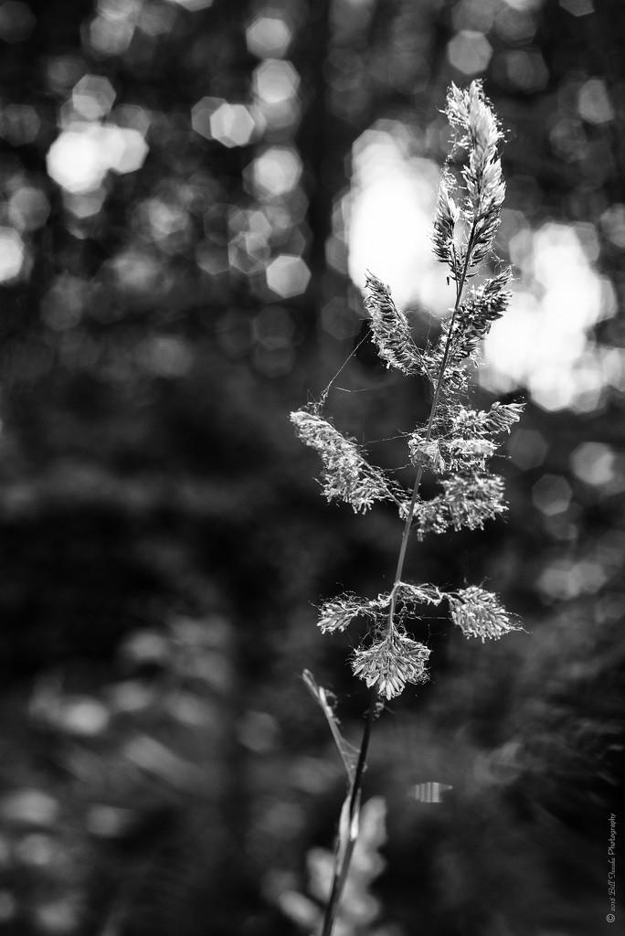 Backlit Seedheads by bill_fe