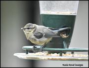 17th Jun 2018 - One of my favourite little birds