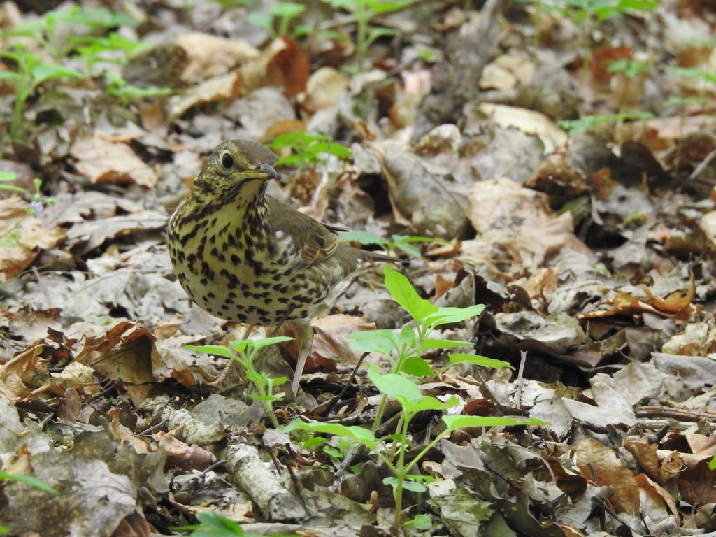 Songthrush in Woodland by susiemc