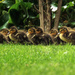 The great duckling dinner bell rush