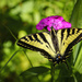 Swallowtail Sipping from Sweet William