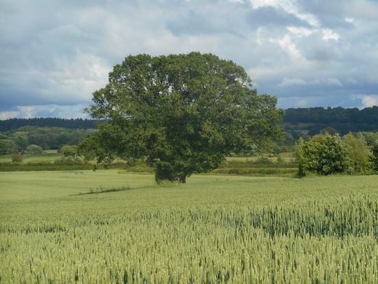 Oak tree in the middle of a field of wheat.....  by snowy