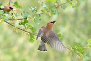 17th Jun 2018 - Two Cedar Waxwings!