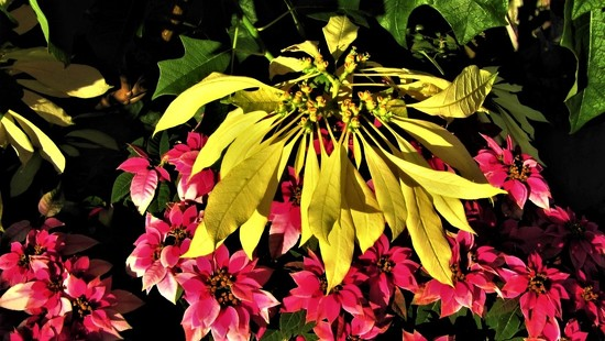 Yellow & Variegated Pink Poinsettia ~ by happysnaps