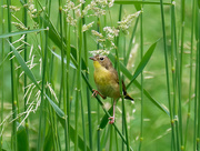 17th Jun 2018 - Female Common Yellowthroat
