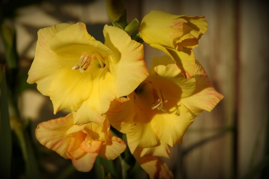 Glads in the sunshine by homeschoolmom