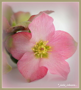 18th Jun 2018 - Winter Rose... Hellebore..