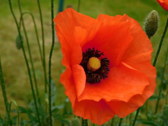 Poppy by 365anne