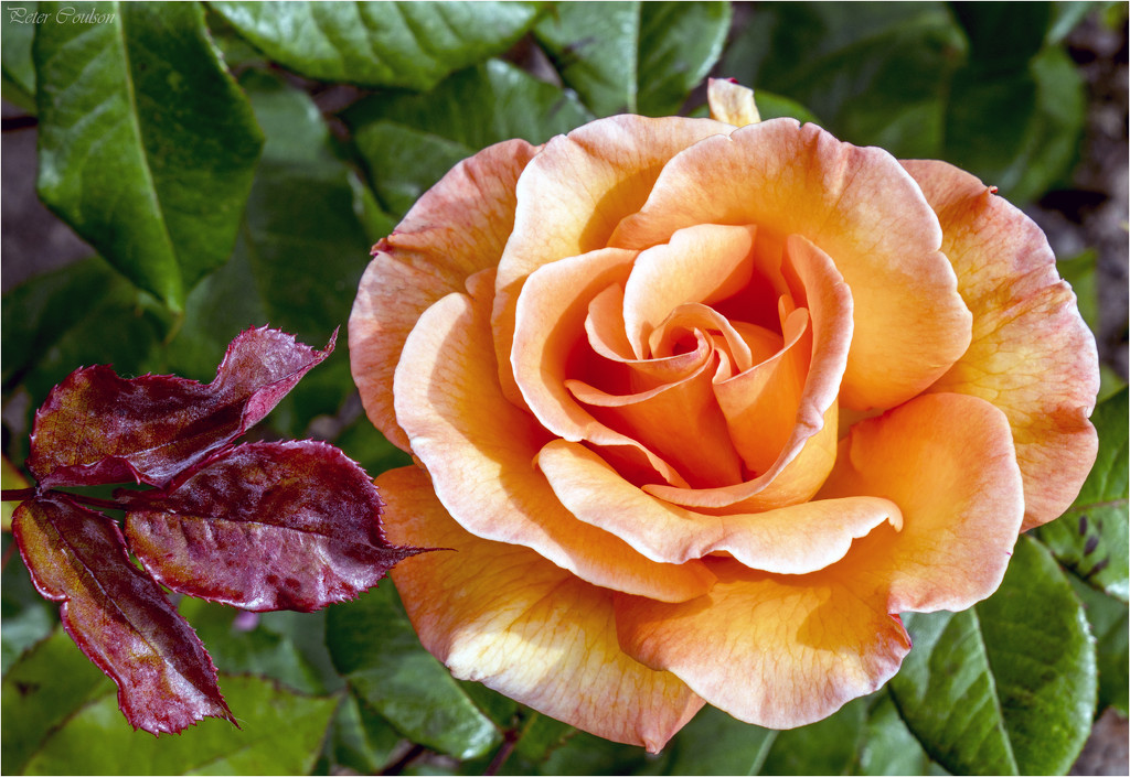 Orange Rose by pcoulson