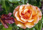 17th Jun 2018 - Orange Rose