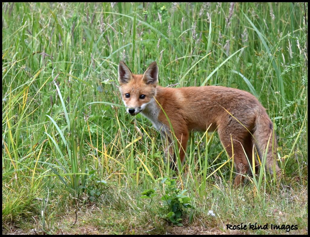 Hello Foxy by rosiekind