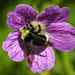 Bee In Wild Geranium