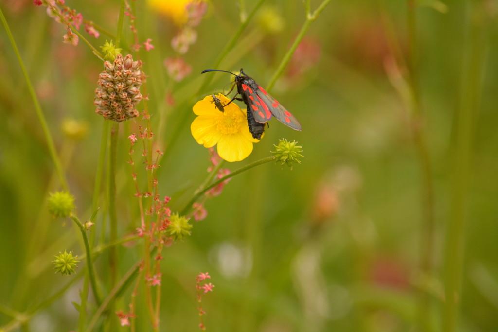 Burnet daytime moth.... by ziggy77