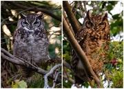 18th Jun 2018 - The Owls