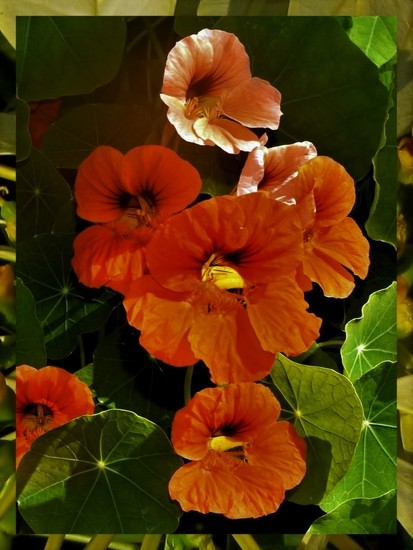 Nasturtiums ~ by happysnaps