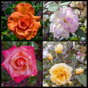 18th Jun 2018 - Roses