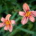 Paimpont 2018: Day 144 - Day Lilies