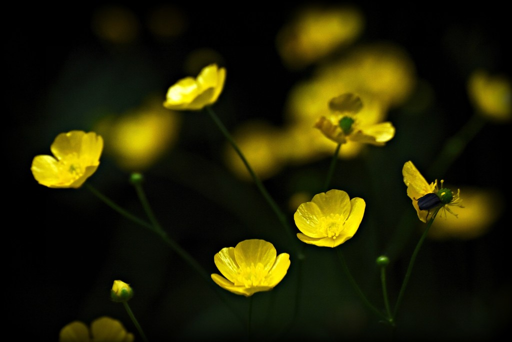 Buttercups with Visitor by farmreporter