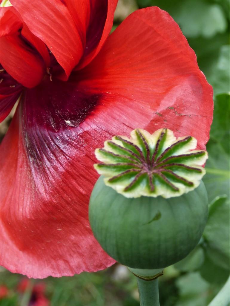 Poppy , seedhead  by beryl