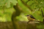 19th Jun 2018 - Nuthatch up in a tree.......