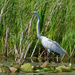 Great Whiet Egret With Water Lily