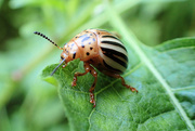 19th Jun 2018 - Potato Beetle