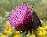19th Jun 2018 - Yellow-Collared Scape Moth