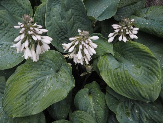 Hostas in bloom by josiegilbert