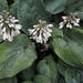 Hostas in bloom