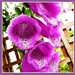 Foxgloves by beryl