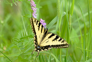 19th Jun 2018 - Yellow swallowtail butterfly!