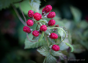 19th Jun 2018 - Unripened Blackberries