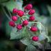 Unripened Blackberries